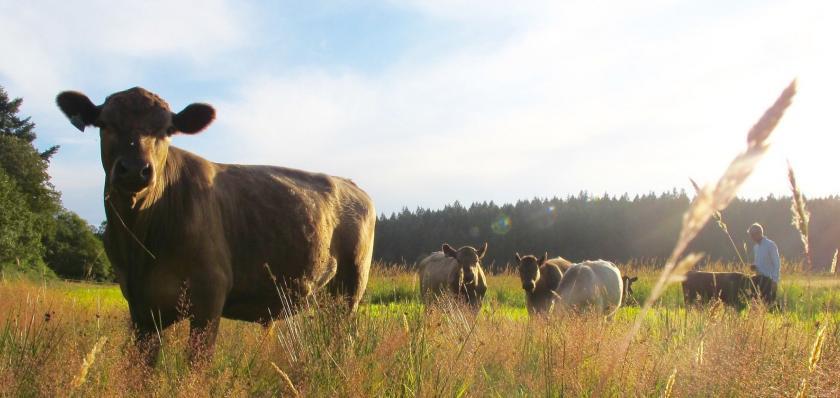 David & Cattle