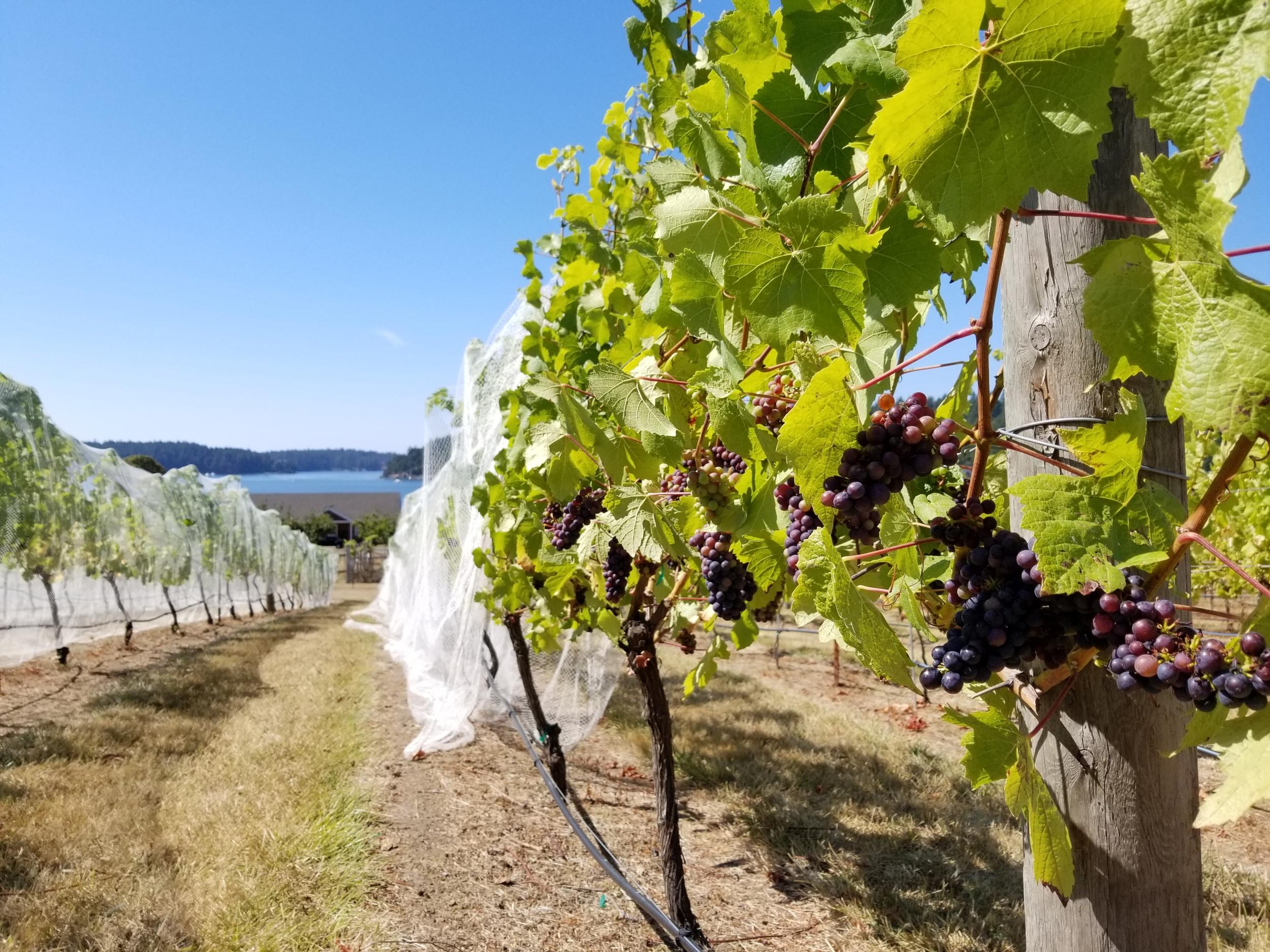 Madrone Cellars Estate Vineyard