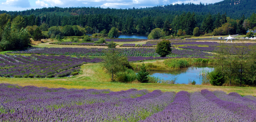Pelindaba Lavender Farm on San Juan Island Washington