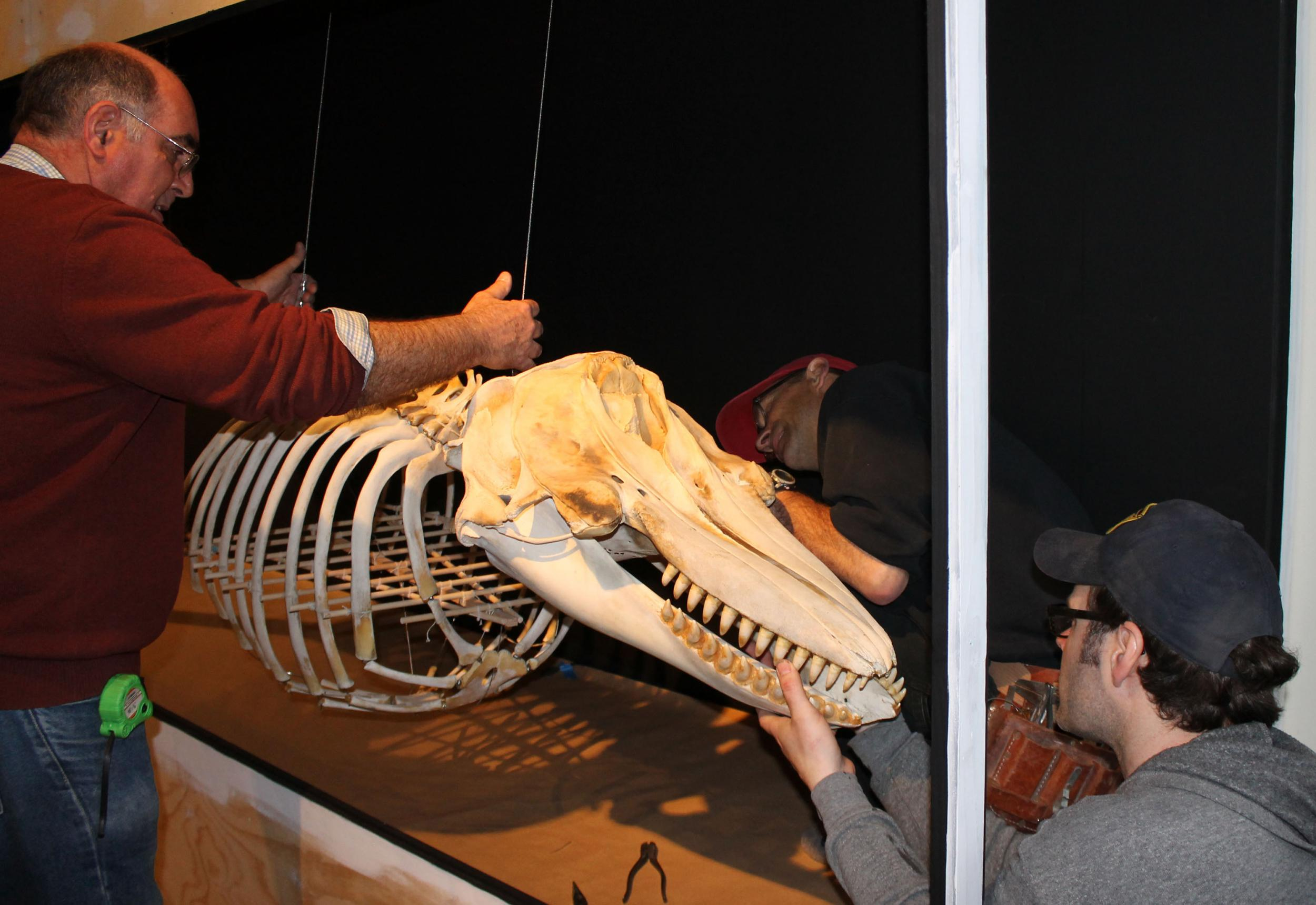 The Whale Museum, Friday Harbor, Sooke orca skeleton