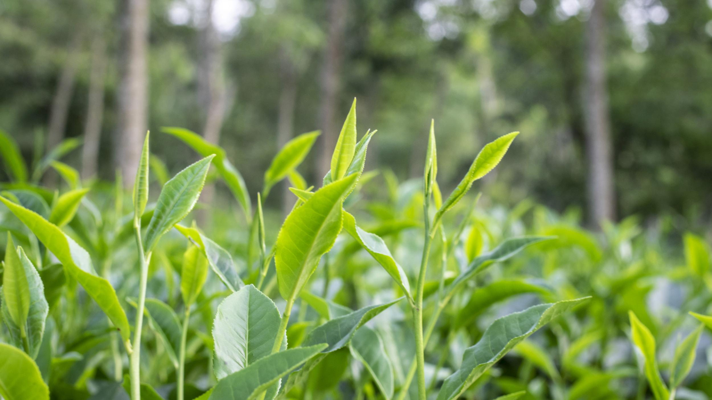 Tea Salish Sea! - Green tea leaf