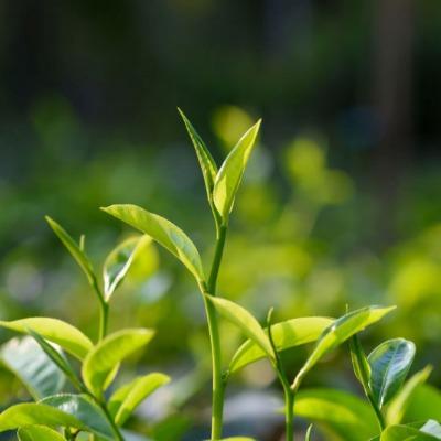 Tea Salish Sea - Tea Growing